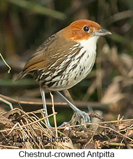 Chestnut-crowned Antpitta - © Laura L Fellows and Exotic Birding Tours