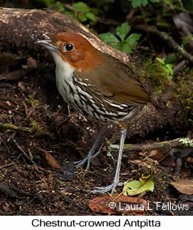 Chestnut-crowned Antpitta - © Laura L Fellows and Exotic Birding LLC