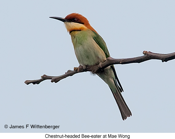 Chestnut-headed Bee-eater - © James F Wittenberger and Exotic Birding Tours