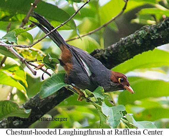 Chestnut-hooded Laughingthrush - © James F Wittenberger and Exotic Birding Tours