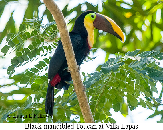 Chestnut-mandibled Toucan - © Laura L Fellows and Exotic Birding Tours