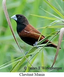 Chestnut Munia - © James F Wittenberger and Exotic Birding Tours