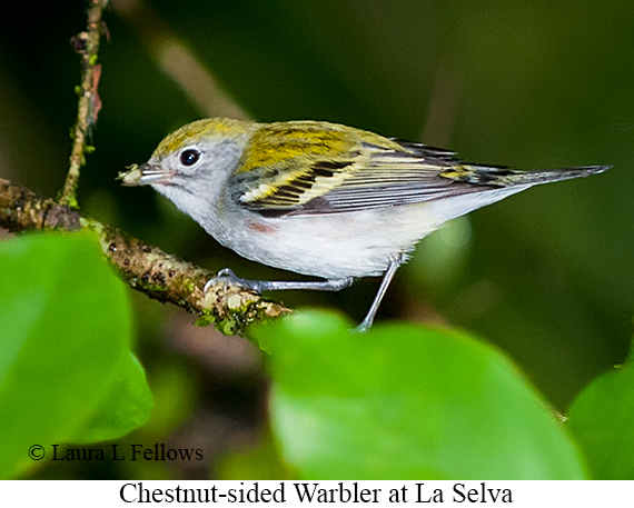 Chestnut-sided Warbler - © The Photographer and Exotic Birding LLC