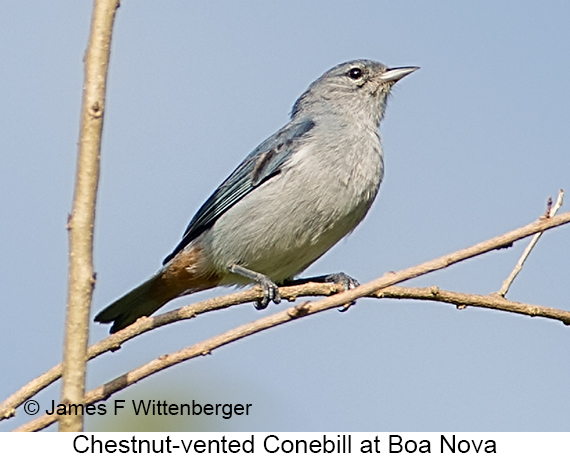 Chestnut-vented Conebill - © The Photographer and Exotic Birding LLC