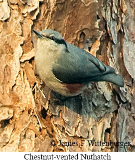 Chestnut-vented Nuthatch - © James F Wittenberger and Exotic Birding Tours