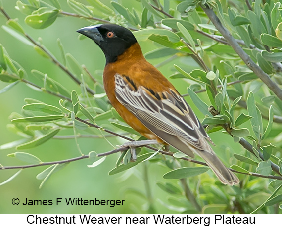Chestnut Weaver - © The Photographer and Exotic Birding LLC
