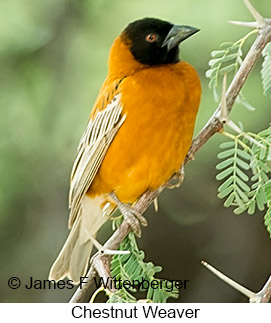 Chestnut Weaver - © James F Wittenberger and Exotic Birding LLC