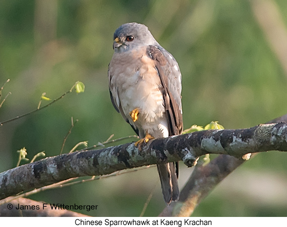 Chinese Sparrowhawk - © James F Wittenberger and Exotic Birding Tours