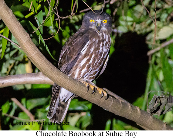 Chocolate Boobook - © James F Wittenberger and Exotic Birding Tours