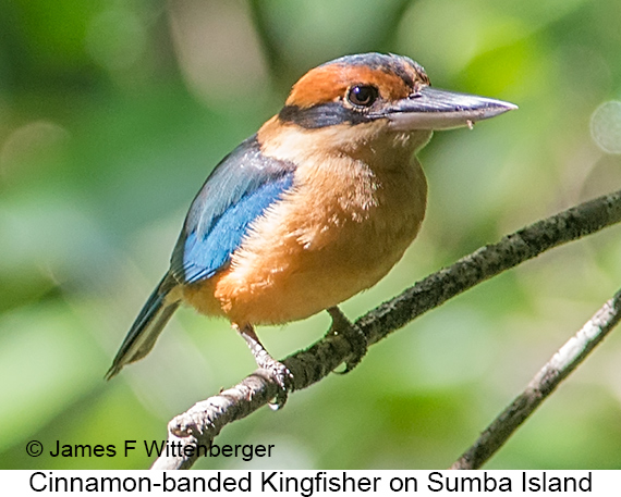 Cinnamon-banded Kingfisher - © James F Wittenberger and Exotic Birding LLC