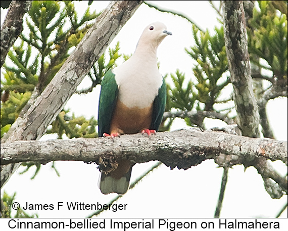 Cinnamon-bellied Imperial-Pigeon - © James F Wittenberger and Exotic Birding LLC