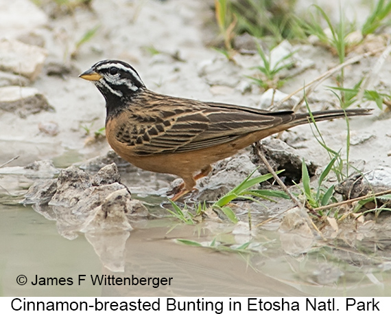 Cinnamon-breasted Bunting - © James F Wittenberger and Exotic Birding LLC