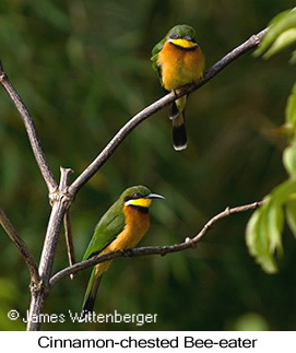Cinnamon-chested Bee-eater - © James F Wittenberger and Exotic Birding LLC