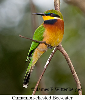 Cinnamon-chested Bee-eater - © James F Wittenberger and Exotic Birding Tours