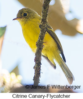 Citrine Canary-Flycatcher - © James F Wittenberger and Exotic Birding Tours