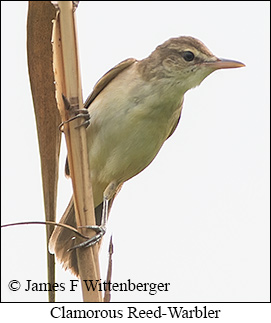 Clamorous Reed Warbler - © James F Wittenberger and Exotic Birding Tours