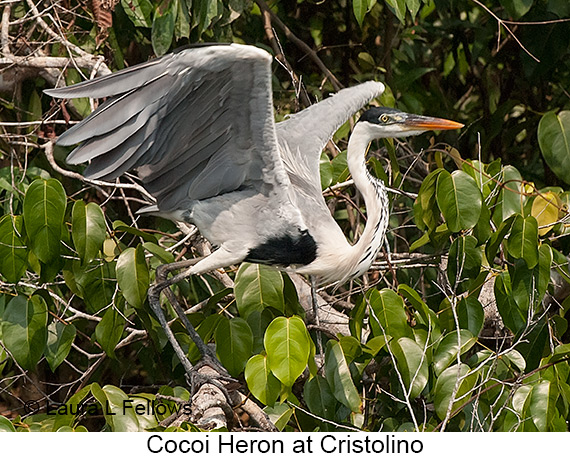 Cocoi Heron - © The Photographer and Exotic Birding LLC
