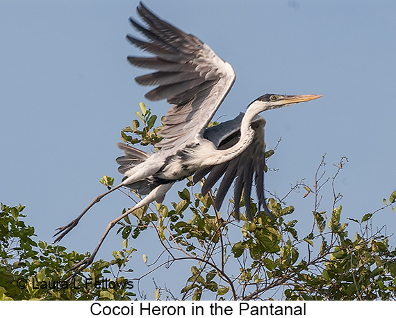 Cocoi Heron - © Laura L Fellows and Exotic Birding LLC