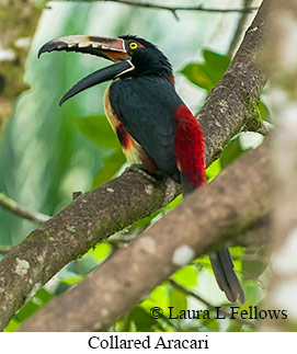 Collared Aracari - © Laura L Fellows and Exotic Birding Tours