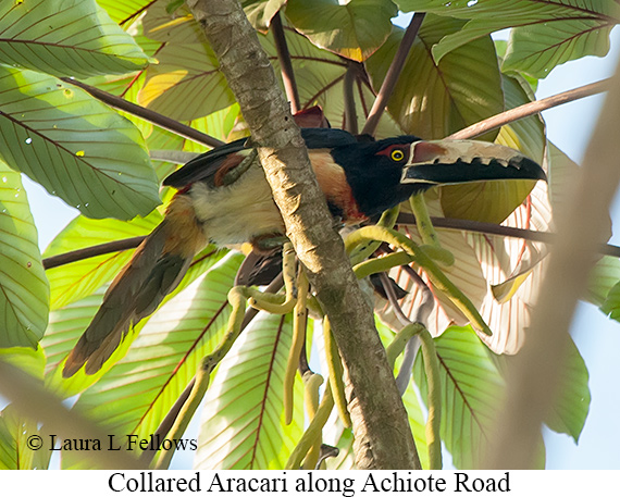 Collared Aracari - © The Photographer and Exotic Birding LLC