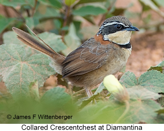 Collared Crescentchest - © James F Wittenberger and Exotic Birding LLC