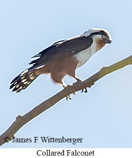 Collared Falconet - © James F Wittenberger and Exotic Birding Tours