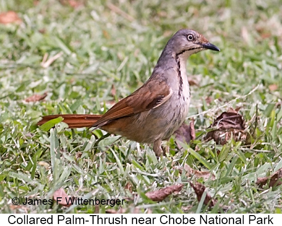 Collared Palm-Thrush - © James F Wittenberger and Exotic Birding LLC