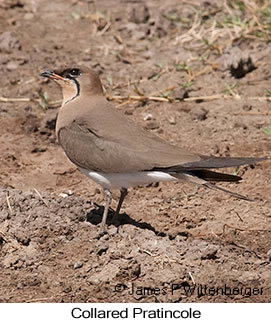Collared Pratincole - © James F Wittenberger and Exotic Birding LLC