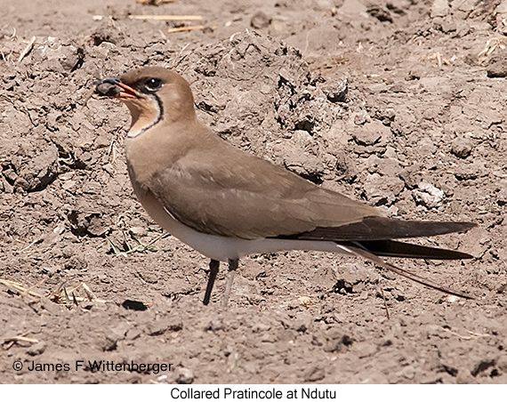 Collared Pratincole - © James F Wittenberger and Exotic Birding Tours