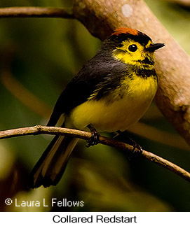 Collared Redstart - © Laura L Fellows and Exotic Birding LLC