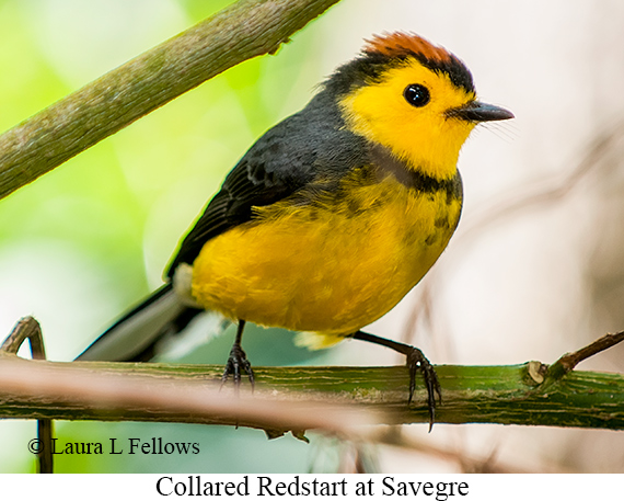 Collared Redstart - © The Photographer and Exotic Birding LLC