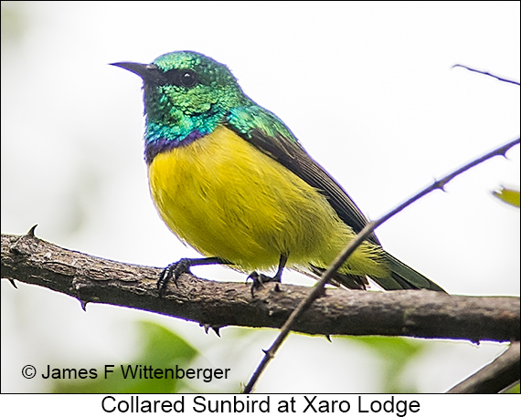 Collared Sunbird - © The Photographer and Exotic Birding LLC