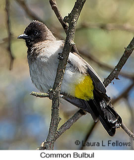 Common Bulbul - © Laura L Fellows and Exotic Birding Tours