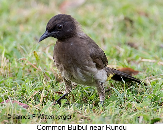 Common Bulbul - © Laura L Fellows and Exotic Birding LLC