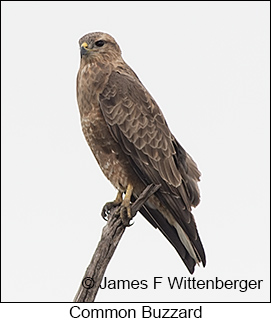 Common Buzzard - © James F Wittenberger and Exotic Birding LLC