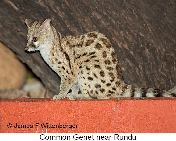 Common Genet - © Laura L Fellows and Exotic Birding Tours