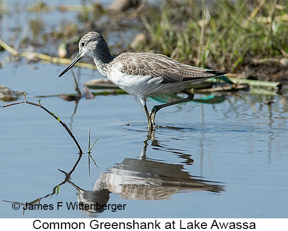Common Greenshank - © James F Wittenberger and Exotic Birding LLC