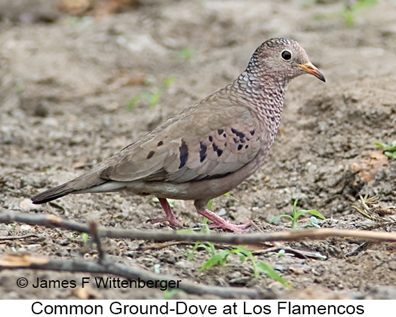 Common Ground-Dove - © James F Wittenberger and Exotic Birding LLC