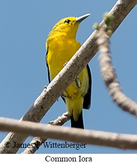 Common Iora - © James F Wittenberger and Exotic Birding Tours