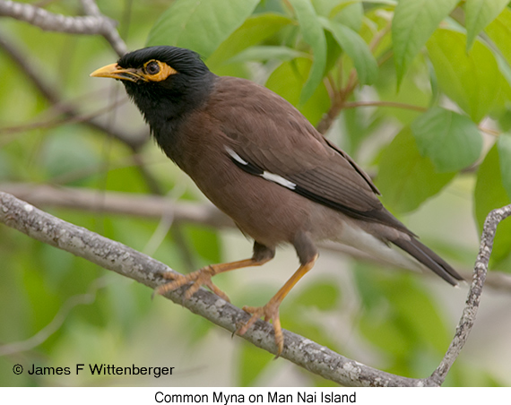 Common Myna - © James F Wittenberger and Exotic Birding Tours