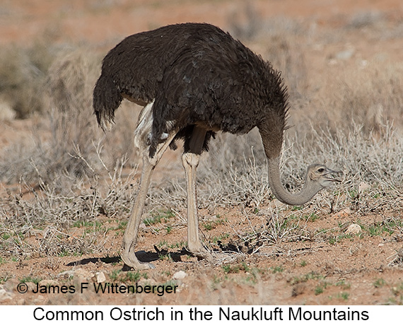 Common Ostrich - © James F Wittenberger and Exotic Birding LLC