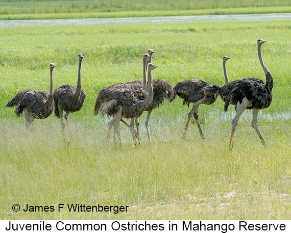 Common Ostrich - © The Photographer and Exotic Birding LLC