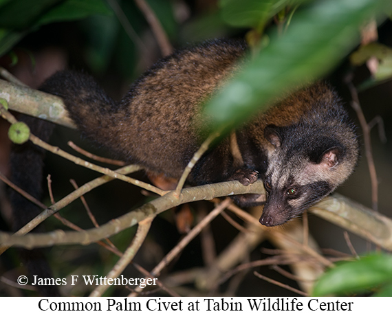 Common-palm Civet - © James F Wittenberger and Exotic Birding Tours