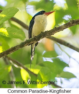 Common Paradise-Kingfisher - © James F Wittenberger and Exotic Birding Tours