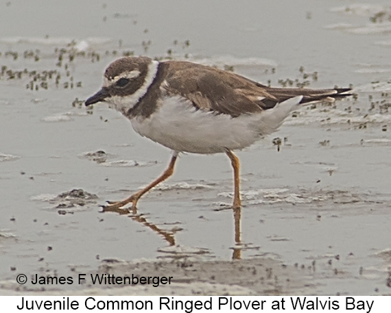 Common Ringed Plover - © James F Wittenberger and Exotic Birding LLC
