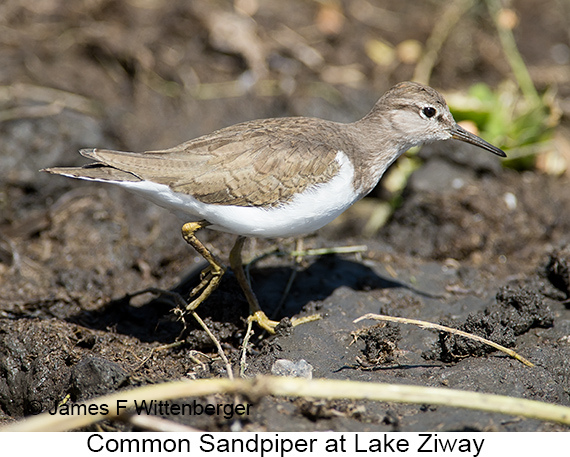 Common Sandpiper - © The Photographer and Exotic Birding LLC