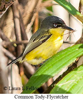 Common Tody-Flycatcher - © Laura L Fellows and Exotic Birding Tours