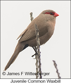 Common Waxbill - © James F Wittenberger and Exotic Birding LLC