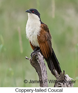 Coppery-tailed Coucal - © James F Wittenberger and Exotic Birding LLC