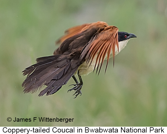 Coppery-tailed Coucal - © The Photographer and Exotic Birding LLC